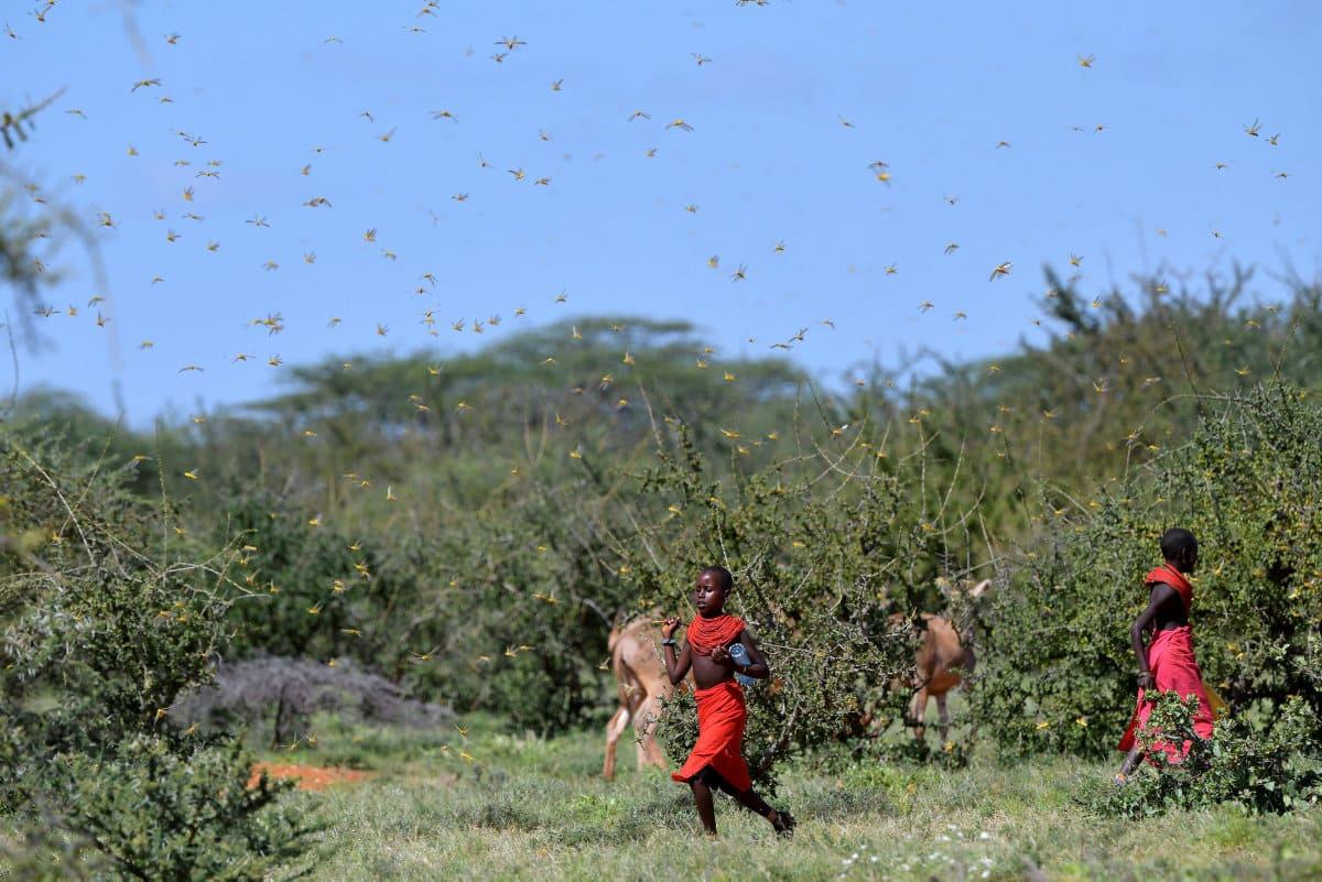 Восточную Африку постигло двойное бедствие: её население борется с новым опустошительным нашествием пустынной саранчи, которое усугубляется пандемией коронавируса. «Ситуация может спровоцировать массовый голод и создать угрозу жизни», - выражают беспокойство эксперты ООН. Угрозу, которая охватит все страны Африки и Среднего Востока.